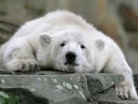 Ijsbeer Knut